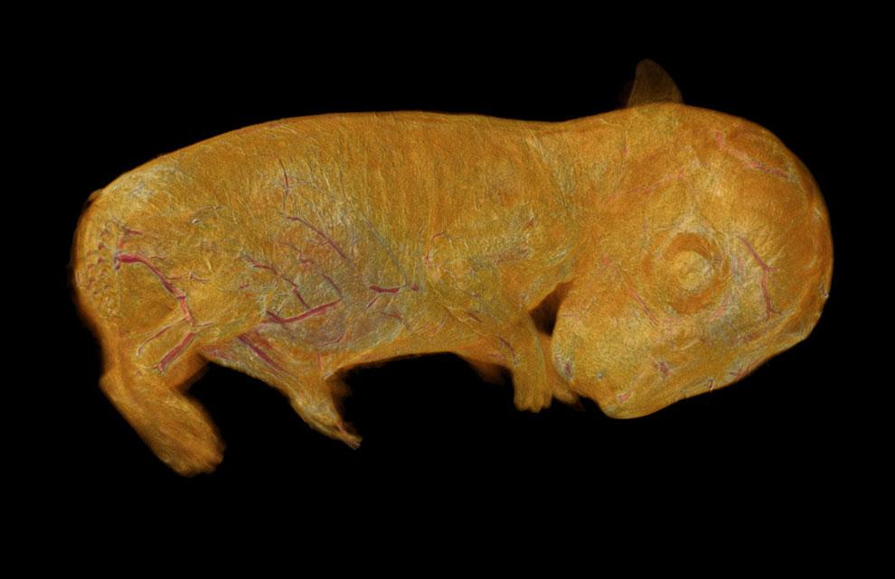 3D-реконструкция эмбриона кролика