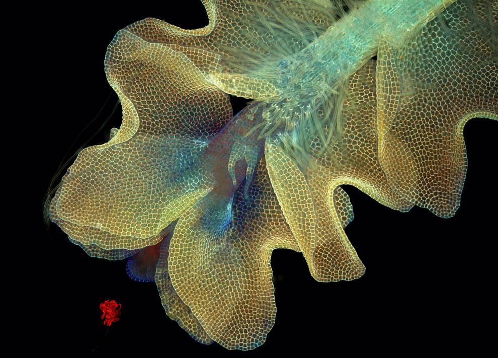 50-кратное увеличение листа печеночника Barbilophozia Sp. (мха)