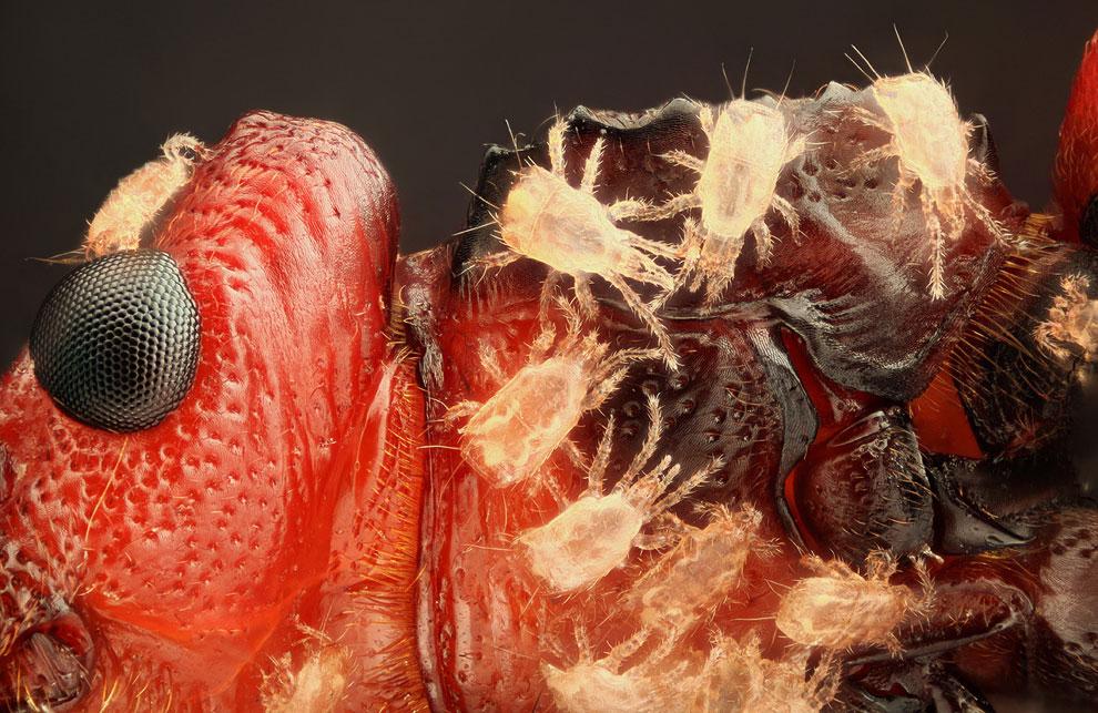 10-кратное увеличение жука-короеда