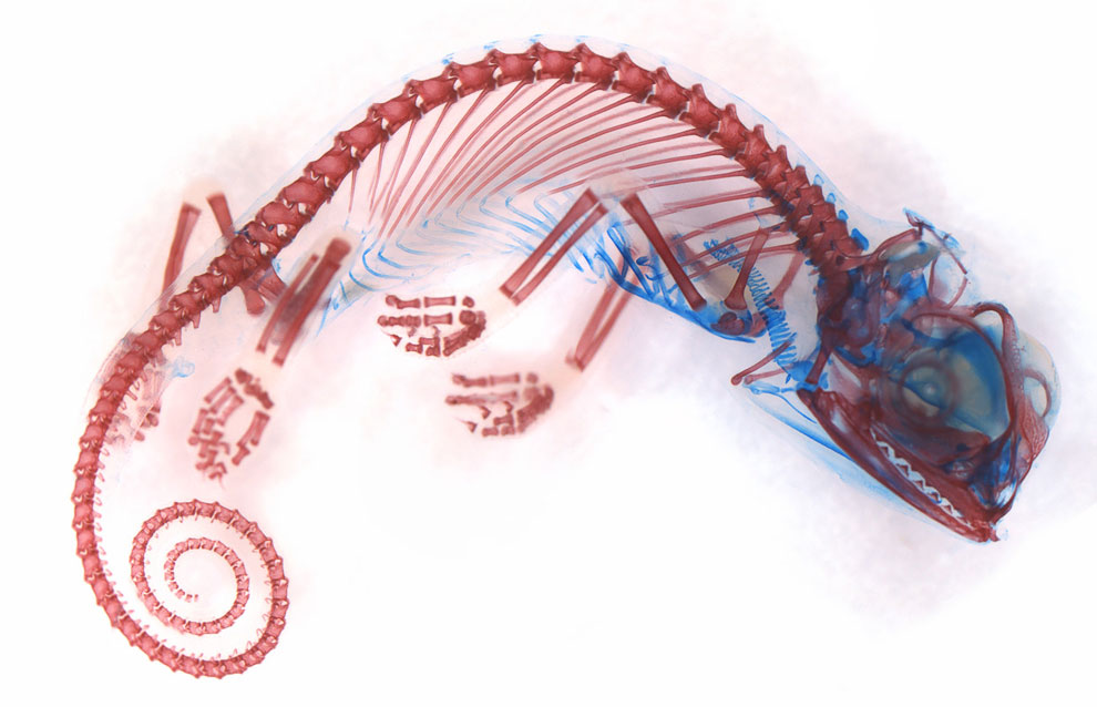 Эмбрион йеменского хамелеона