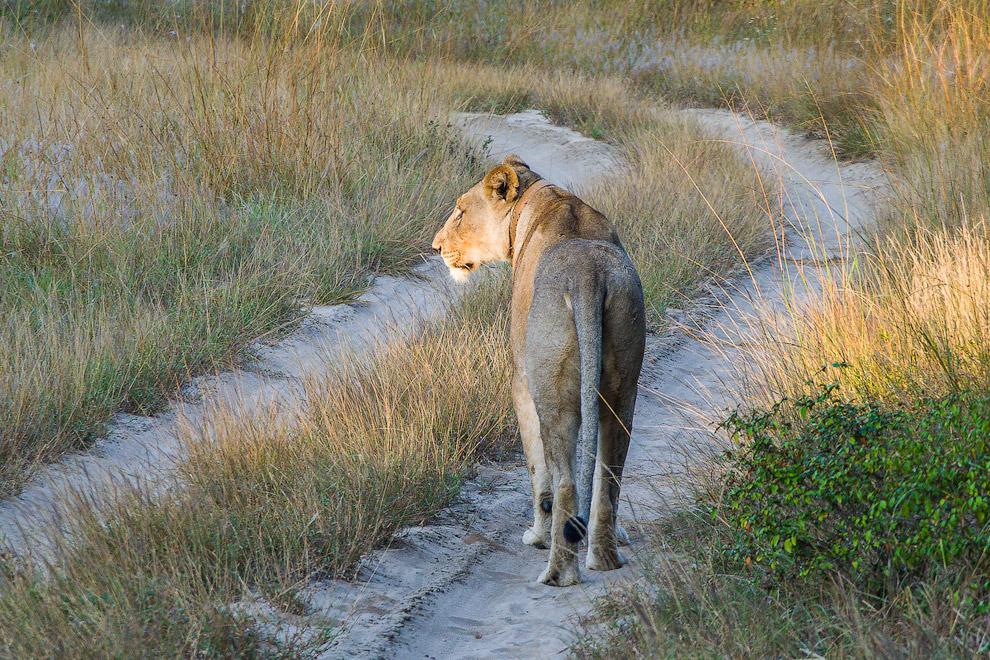 История одного львиного прайда