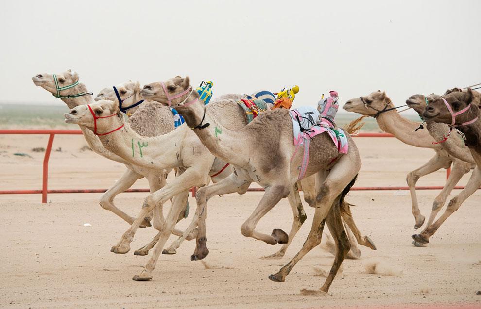 Еженедельная гонка верблюдов в Кувейте