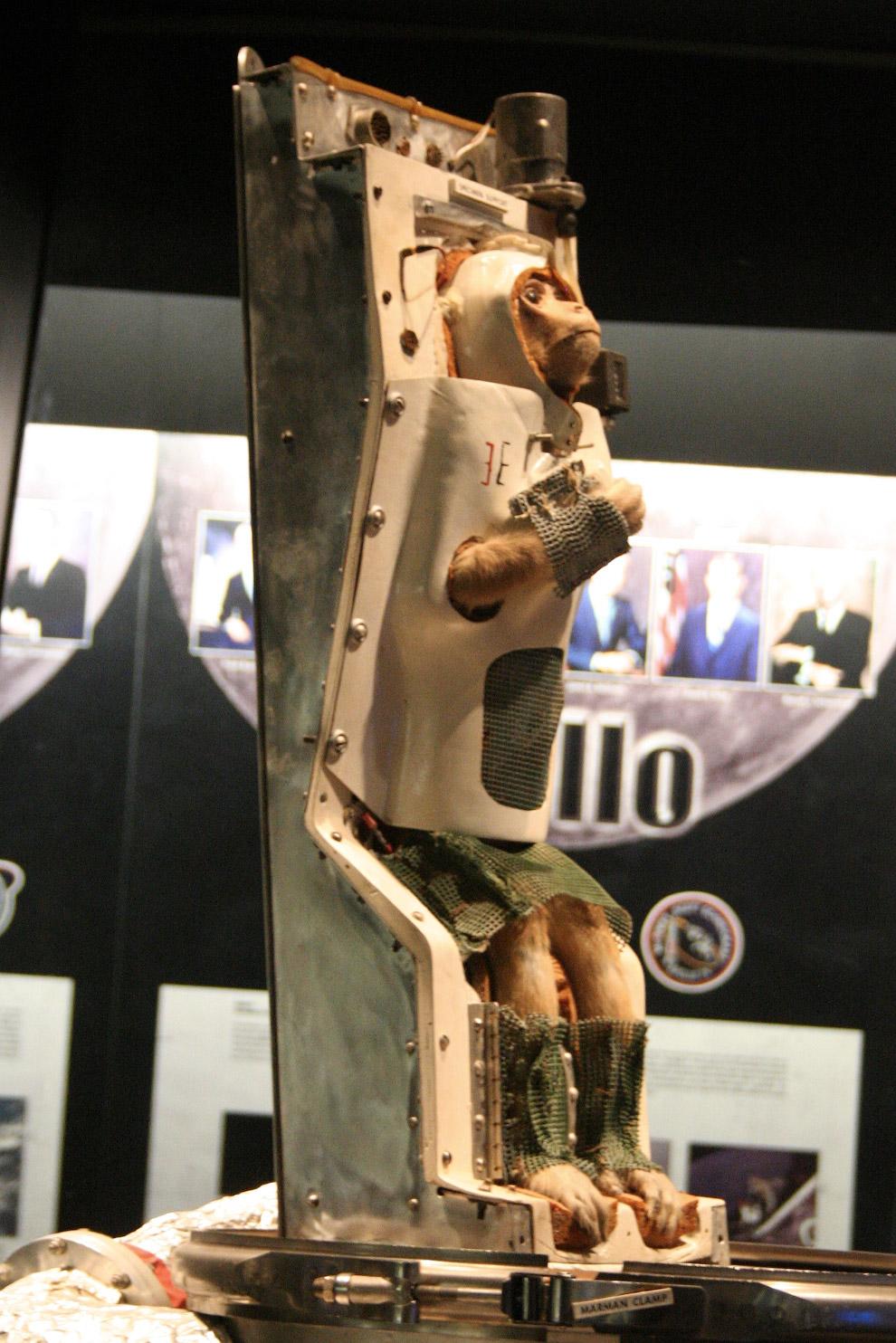 Чучело Эйбл выставлено в Национальном музее воздухоплавания и космоса Смитсоновского института