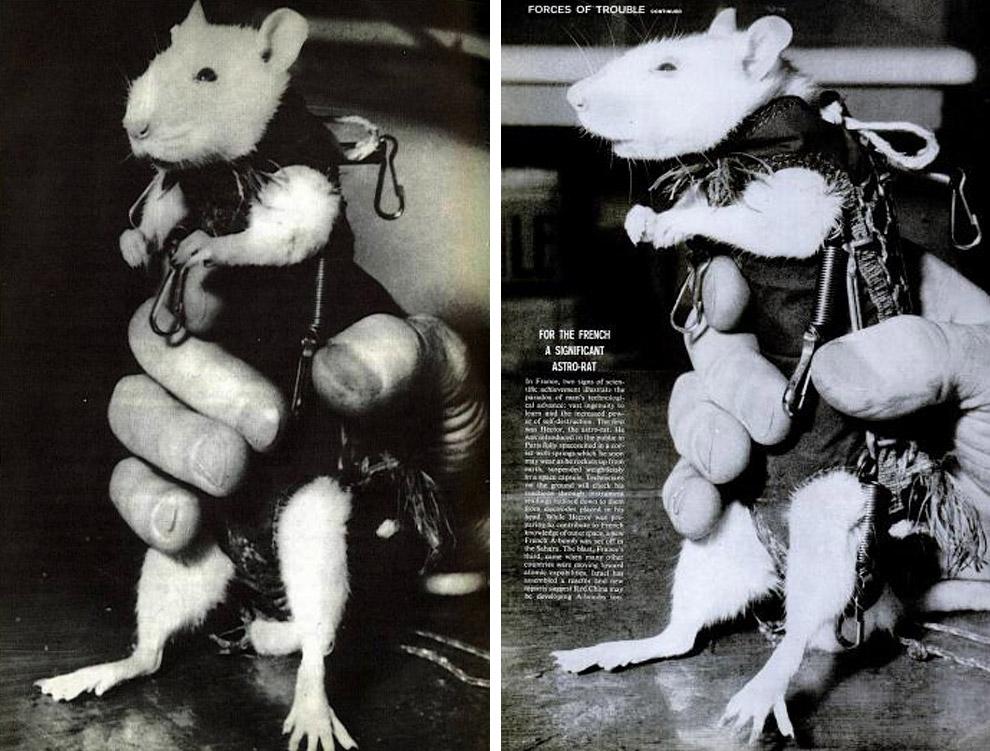 Крыса Гектор