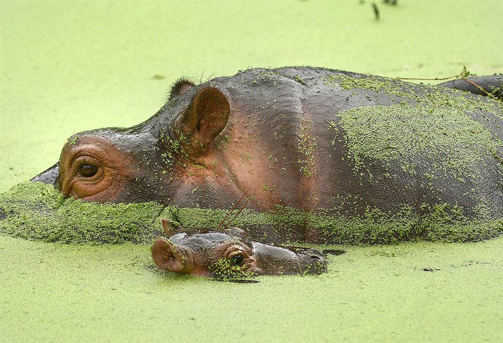 Семья бегемотов в зоопарке Флориды