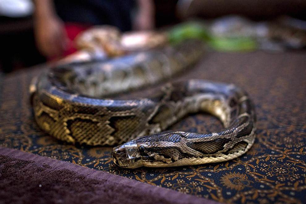 Питон в центре для животных в Джакарте, Индонезия