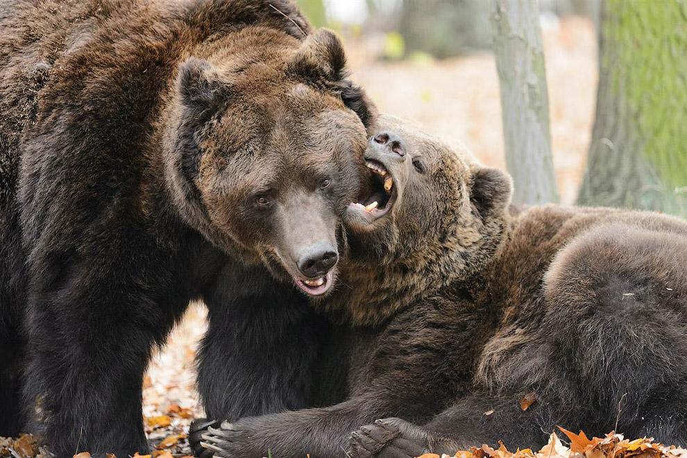 Бурые медведи Ваня (слева) и Миша в зоопарке в Познани, Польша