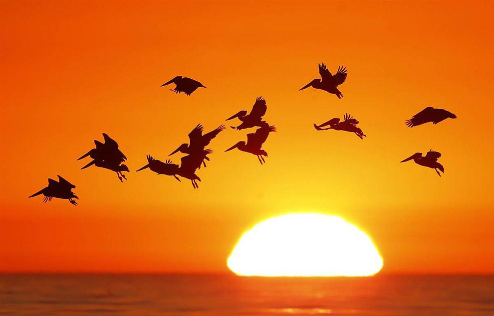 Пеликаны на закате