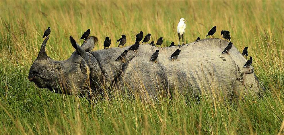 Саранчо́вые скворцы и египетская цапля отдыхают на носороге в Индии