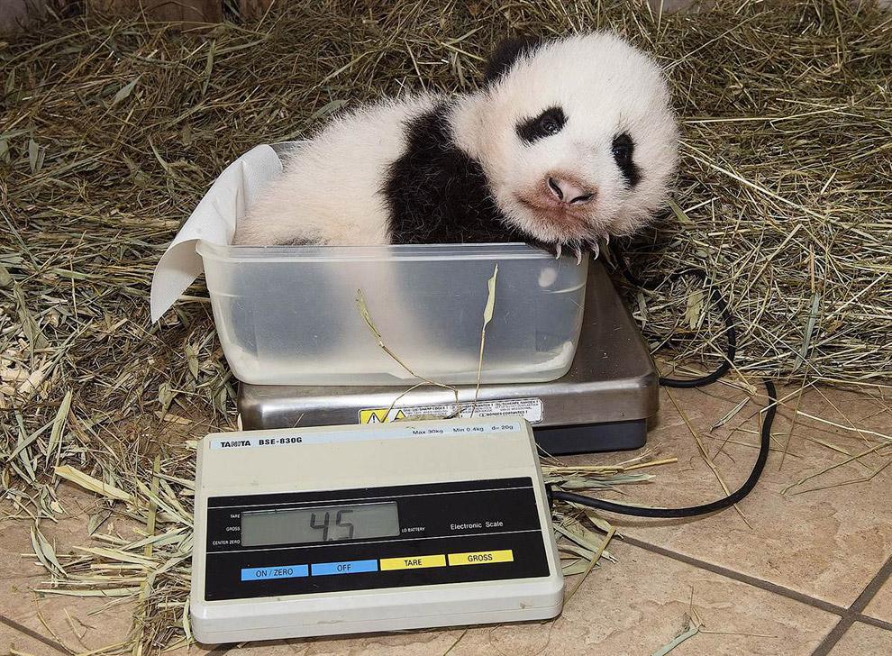 Двухмесячная панда отдыхает на весах в зоопарке Шенбрунн в Вене, Австрия