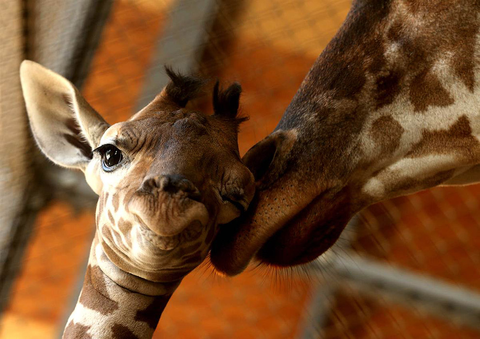 Новорожденный жираф с мамой в парке в Японии