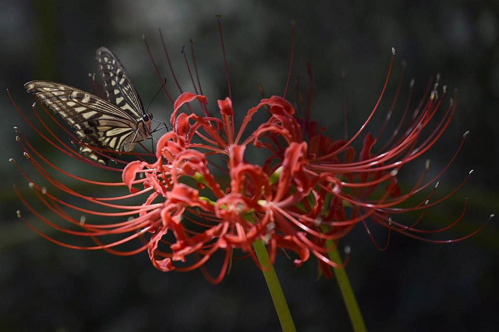 Бабочка на красной паучьей лилии