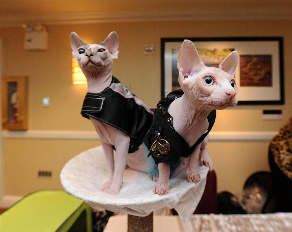 Два сфинкса в кошачьих пиджаках в питомнике в Нью-Йорке
