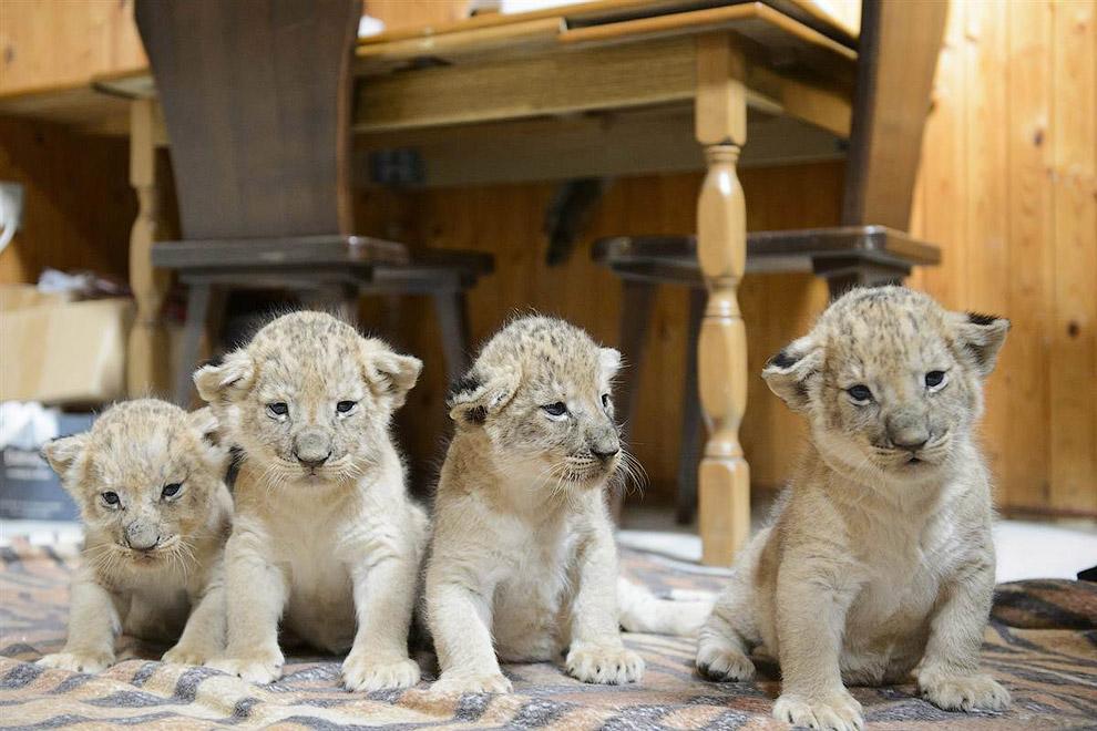 Четыре недавно родившихся львенка в зоопарке в Будапеште