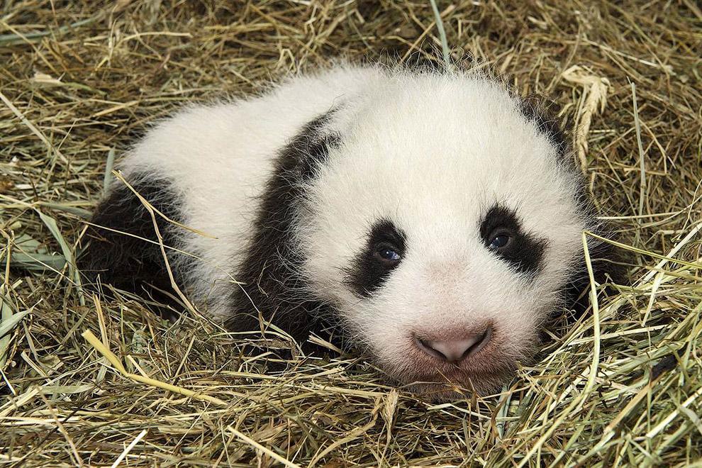 Маленькая большая панда в зоопарке в Вене, Австрия