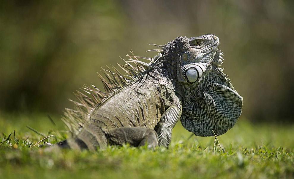 Зеленая игуана греется на солнце во Флориде