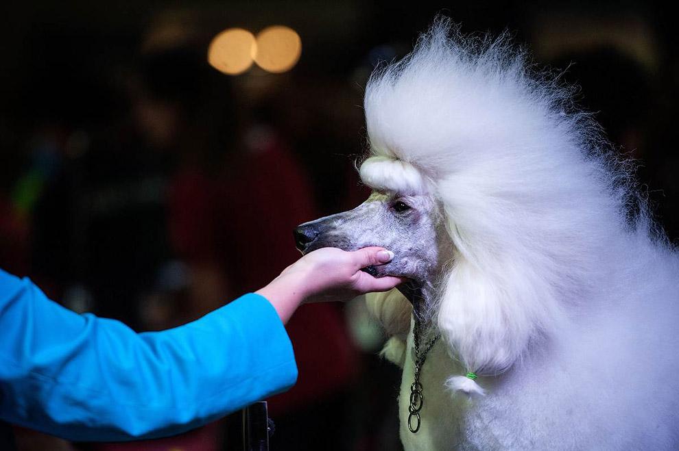 Пудель на чемпионате по стрижке собак в Барселоне, Испания