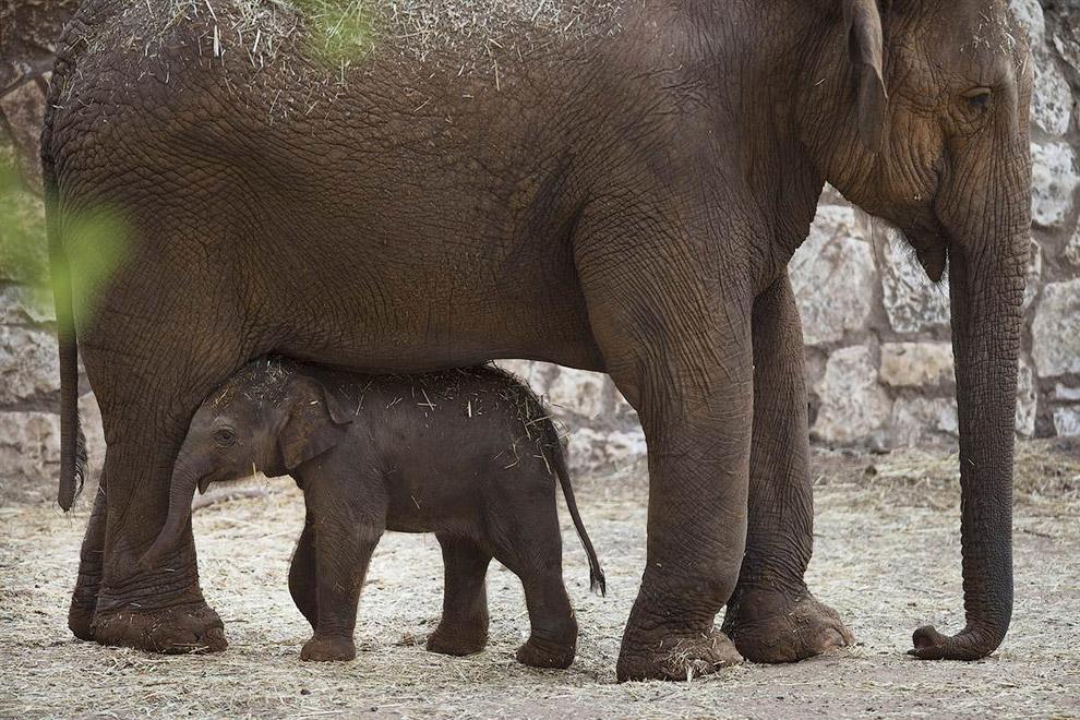Новорожденный азиатский слоненок в зоопарке в Рамат-Гане, Израиль