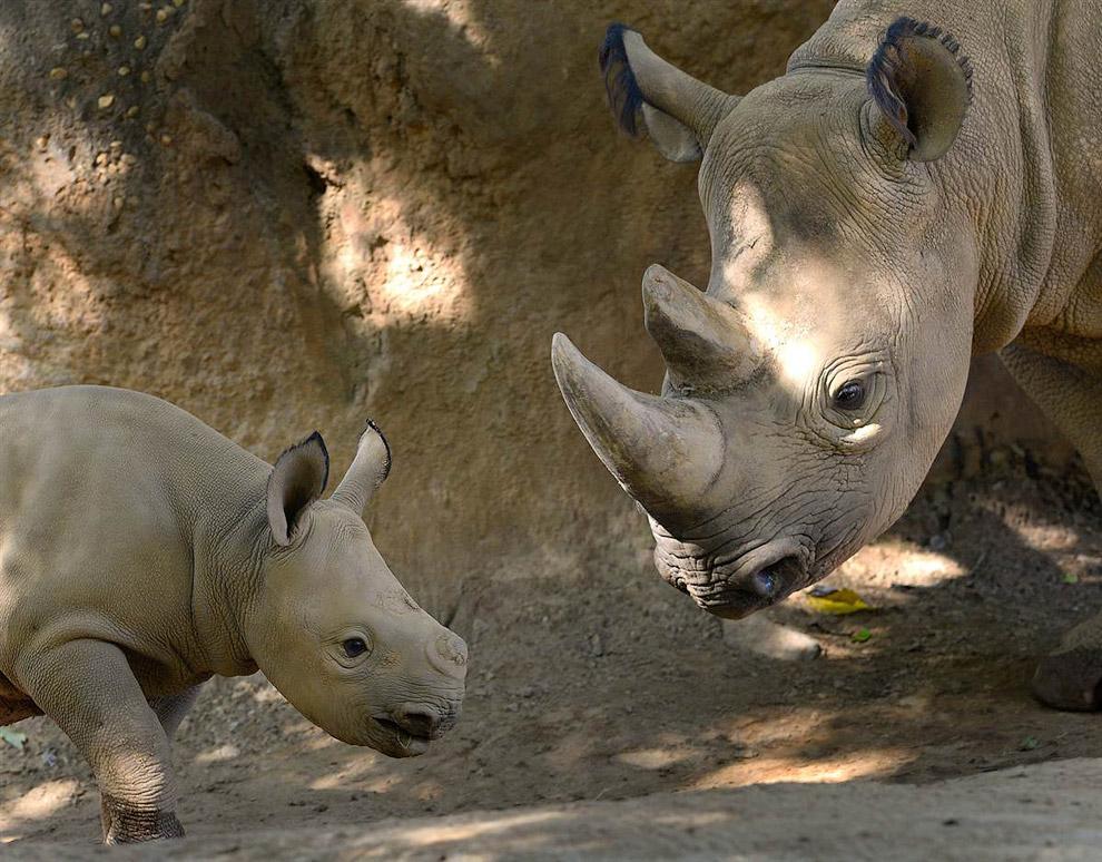 Мама-носорог воспитывает новорожденную дочку в зоопарке Атланты