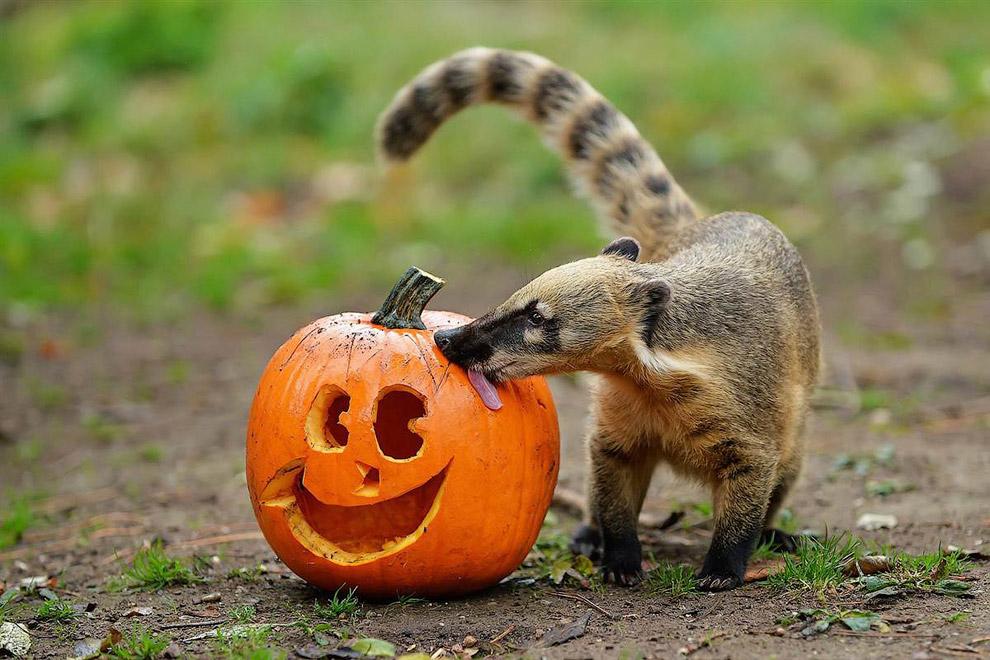 Хэллоуин в Шёнбруннском зоопарке на окраине Вены, Австрия