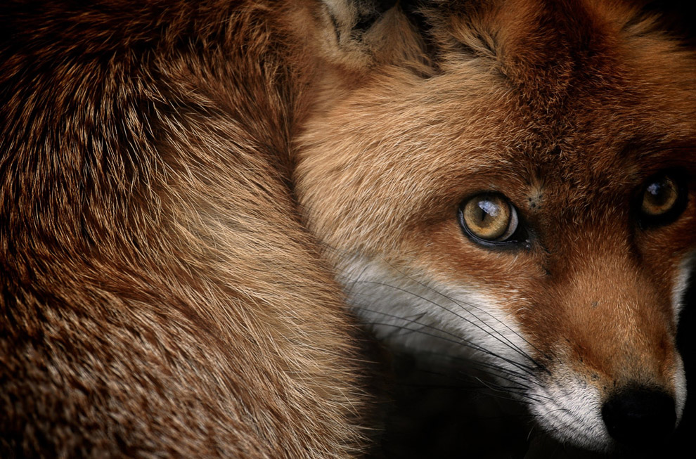 Маленькая рыжая лисица в лесу в Третфорде, Англия