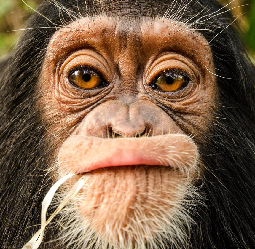 центре спасения шимпанзе в