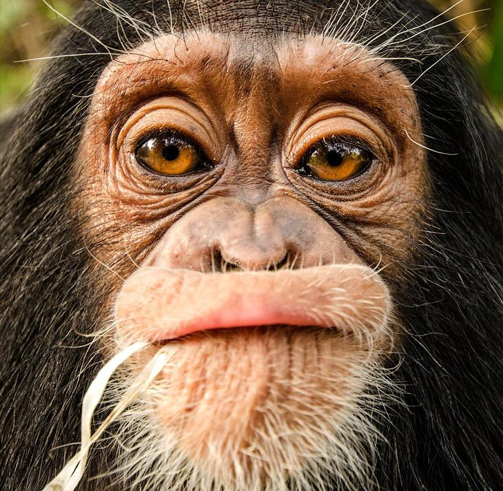 Осиротевшая девочка в центре спасения шимпанзе в Камеруне