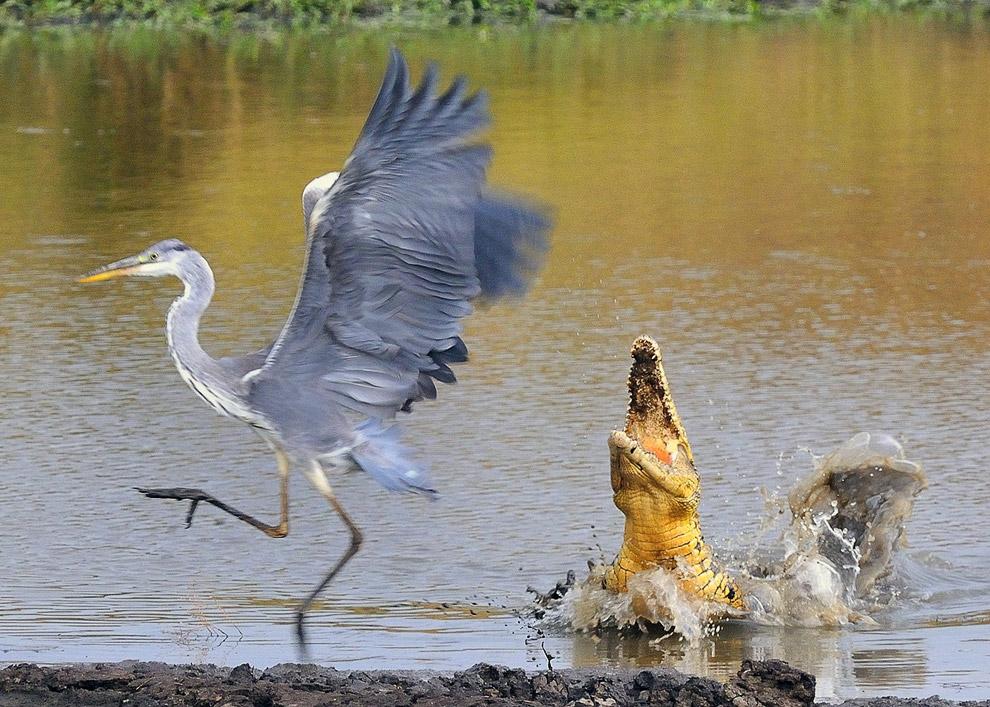 Серая цапля неудачно выбрала место для рыбалки, но успела сбежать от нильского крокодила