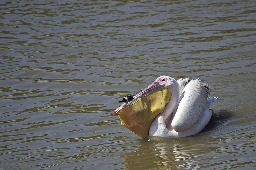 Автор снимка сначала думал, что в клюве у розового пеликана находится рыба, но затем увидел, что это утка, которая изо всех сил пыталась сбежать!