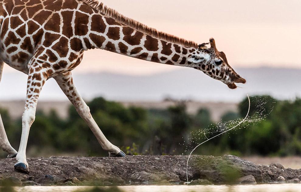 Жираф на водопое, Кения