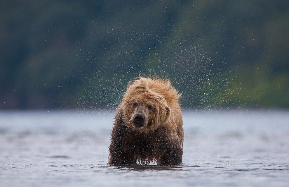 Бурый медведь стряхивает воду, Камчатка