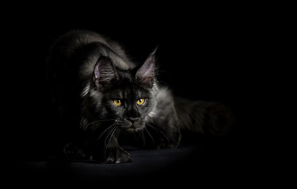 Портрет черного кота породы мейн-кун