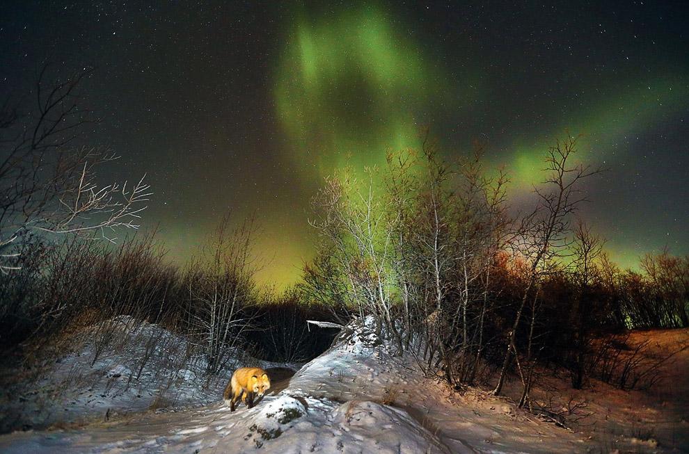 Лиса и северное сияние, штат Аляска