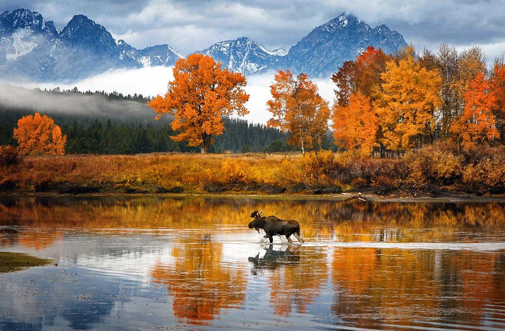Лось и осень в штате Вайоминг