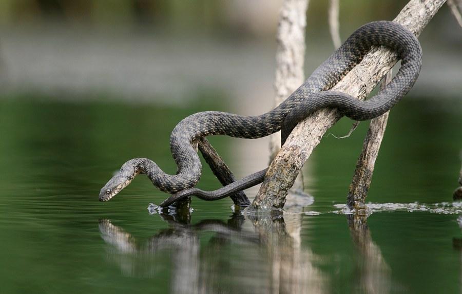 Водяной уж (Natrix tessellata)