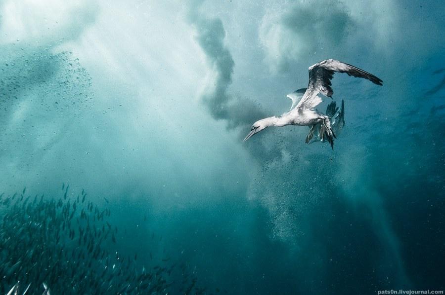 Morus - рід морських птахів сімейства олушеві