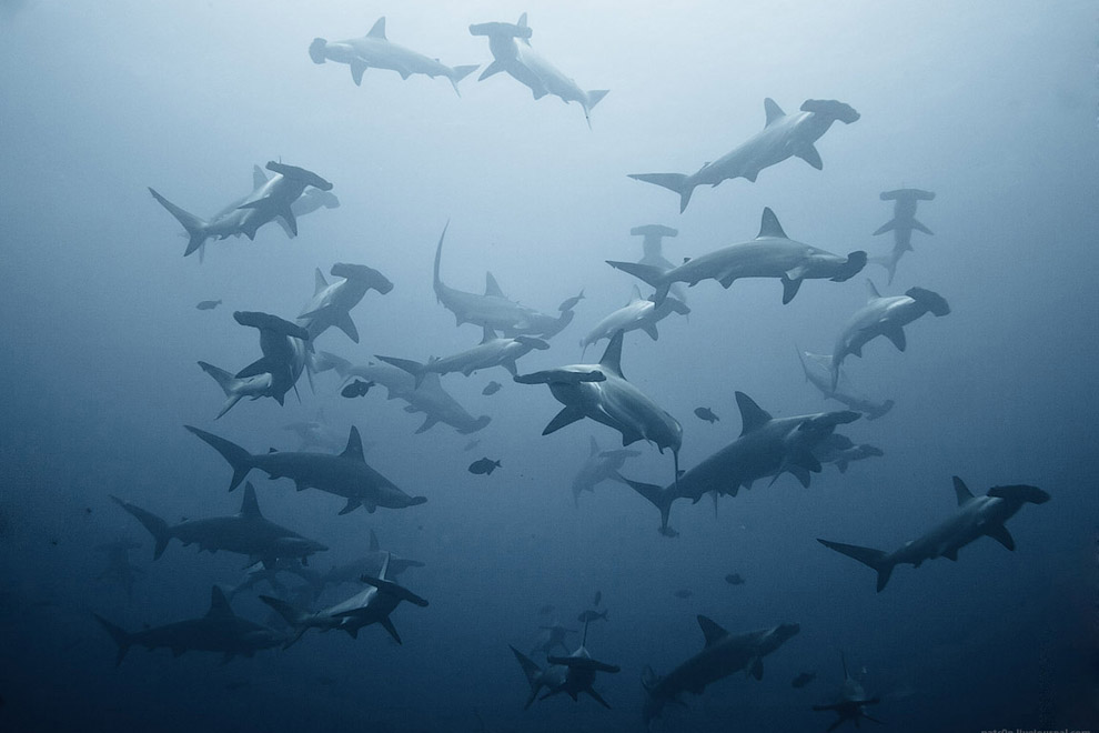 Акулы молоты, Кокосовые острова