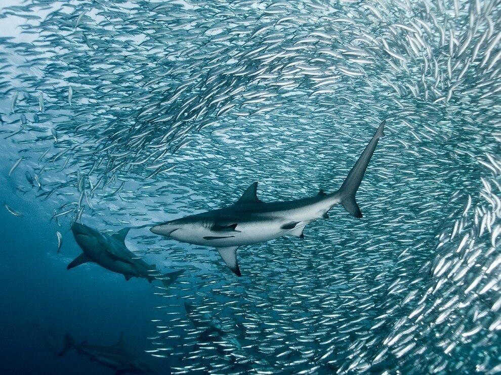 Короткохвостые серые акулы