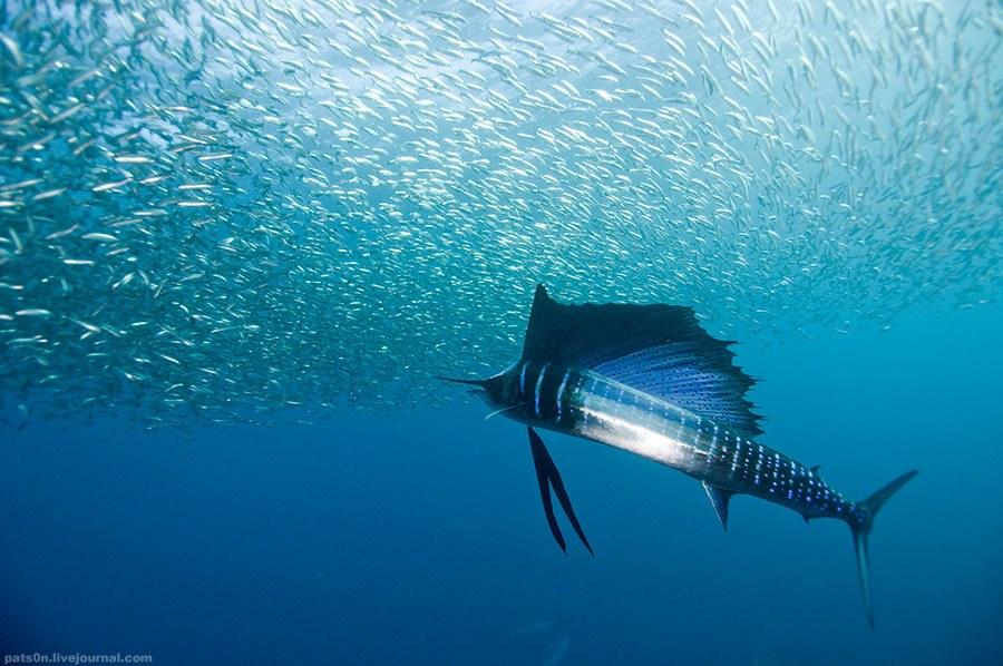 Морская рыба парусник