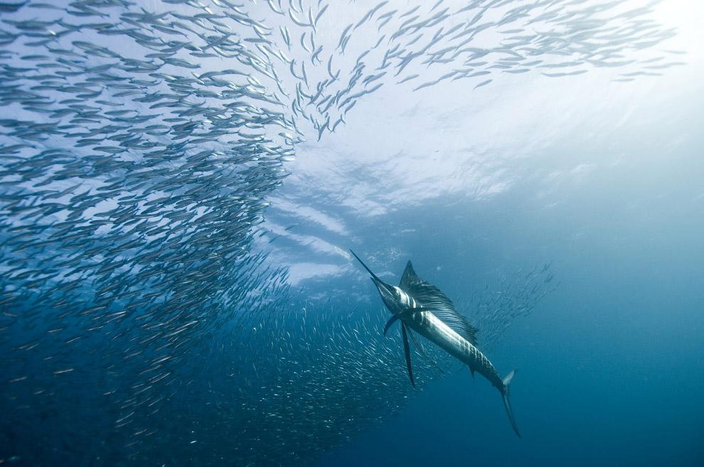 Риба-вітрильник - найшвидше водне тварина
