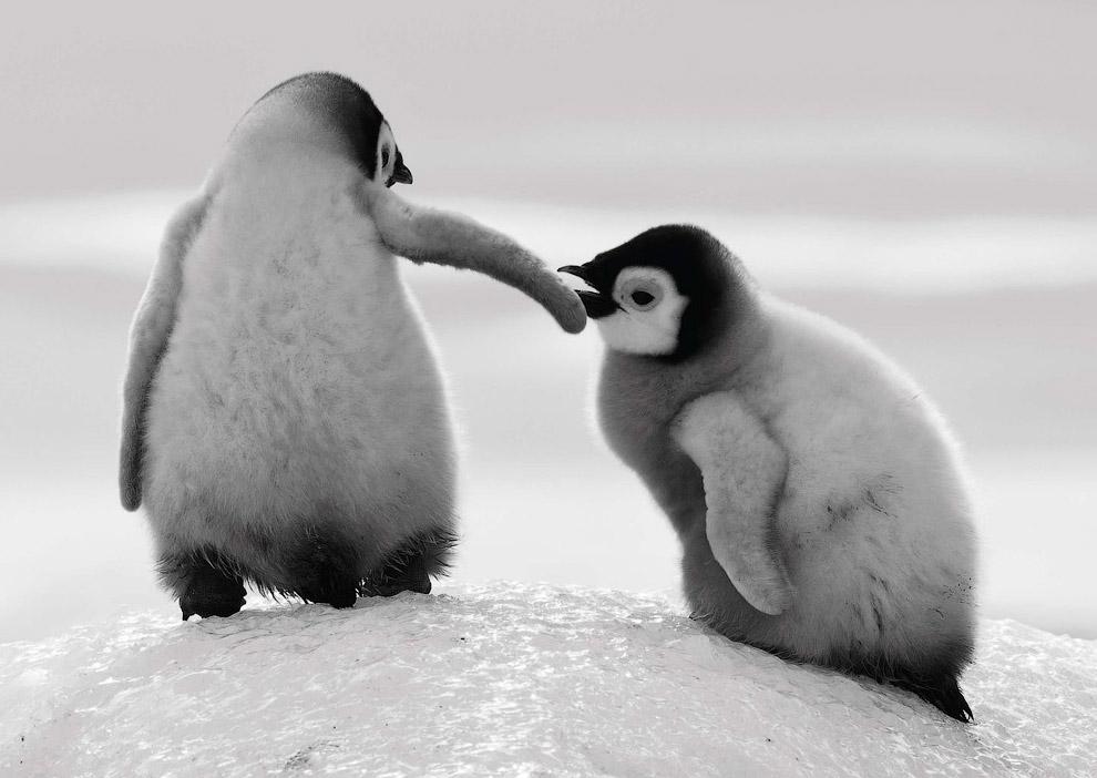 Очаровательные пингвинчики, помогают друг другу подняться по ледяному склону в Сноу-Хилл, Антарктида
