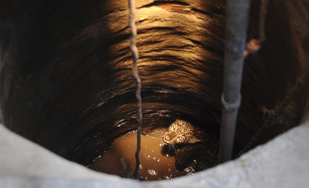 Операция спасения леопарда из колодца, находящегося в храме Камакхья в Индии