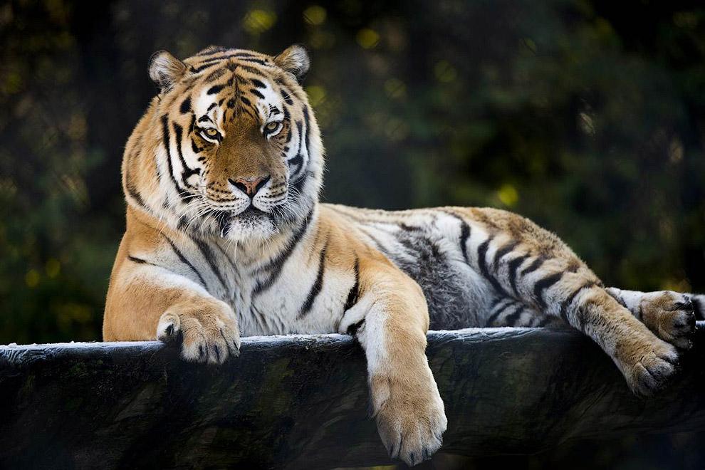 Амурский тигр отдыхает в зоопарке в Швейцарии