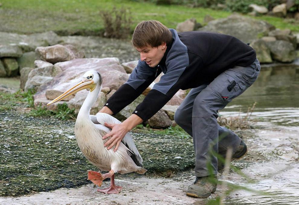 Работник зоопарка ловит пеликана. Гельзенкирхен, Германия