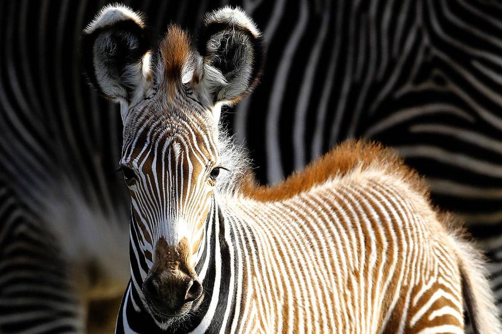 Зебра Генрих позирует в зоопарке в Берлине