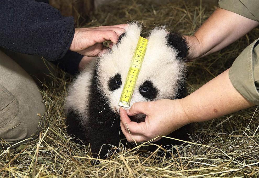 2-месячную панду измеряют в зоопарке Вены