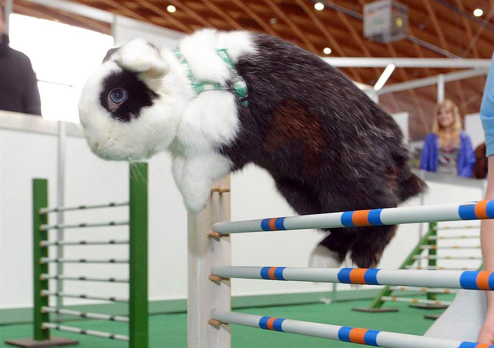 Кролик во время прыжка через препятствие на ярмарке домашних животных в Карлсруэ, Германия