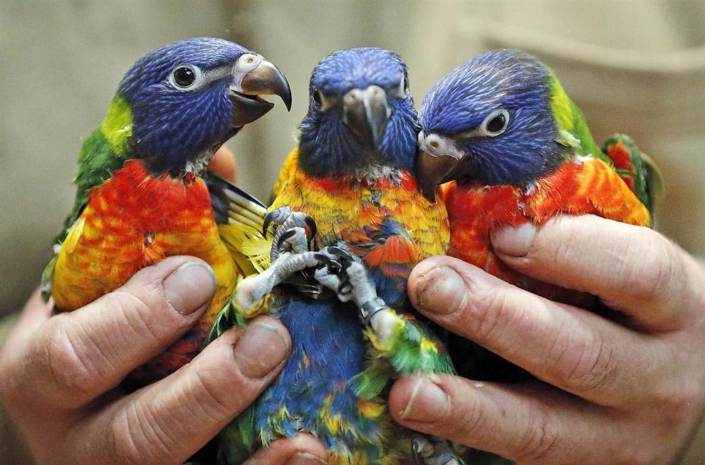 Три 2-месячных разноцветных попугайчика из зоопарка в Дуйсбурге, Германия