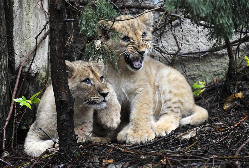 Показ журналистам маленьких львят в зоопарке в Оломоуце, Чехия