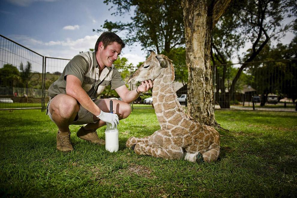 5-дневный жираф из Южной Африки